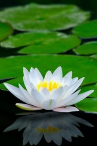 lotus-flower-hd-live-wallpaper-105-0-s-307x512-3