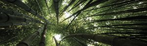 bamboo_trees_crones_from_below_4823_3840x1200